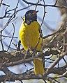 Ws bho O larvatus 690V1226 - Flickr - Lip Kee.jpg