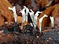 Xylaria hypoxylon 105901202.jpg