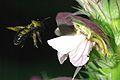 XylocopaViolacea 002.JPG
