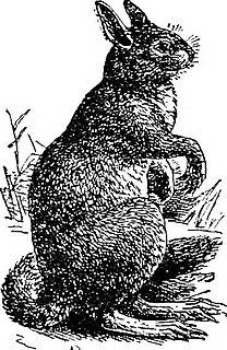 Yarkand hare species of mammal