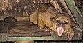 Yawning kinkajou-2.jpg