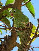 A green parrot with white eye-spots and yellow shoulders