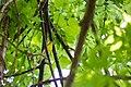 Yellow-throated vireo (46967164775).jpg