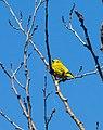 Yellow Warbler (7337713566).jpg