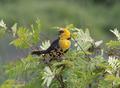 Yellow headed blackbird.png