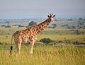 Young Giraffe, Uganda (15060604824).jpg