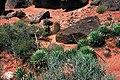 Yucca nana fh 1180.31 Scl.parviflorus fh 69.104 UT B.jpg