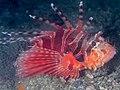 Zebra lionfish (Dendrochirus zebra) (41639514954).jpg