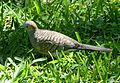 Zebra or Barred Ground Dove. Geopelia striata. - Flickr - gailhampshire (1).jpg