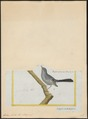Zosterops livida - 1700-1880 - Print - Iconographia Zoologica - Special Collections University of Amsterdam - UBA01 IZ19200097.tif