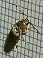 'Crack-back' or click beetle (4189314615).jpg