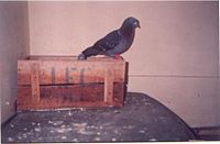 'Lukka' the wild pigeon of Mumbai(1990's).jpg