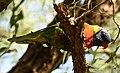 (1)Rainbow lorikeet-1.jpg