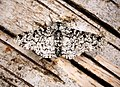 (1931) Peppered Moth (Biston betularia) (27164551650).jpg
