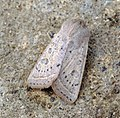 (2186) Powdered Quaker (Orthosia gracilis) (6902010648).jpg