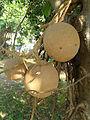 (Couroupita guianensis) at Kakinada Gandhinagar park 17.jpg