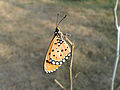 (Danaus chrysippus) plain tiger at Gandhinagar Park 03.JPG