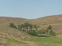 Актюбинская область. Горы Мугоджары. Берёзовая роща.jpg