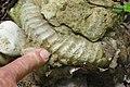 Аммонит, найденный в каньоне Аминовки.jpg