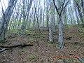Буковий ліс у Кобилецькій Поляні.jpg