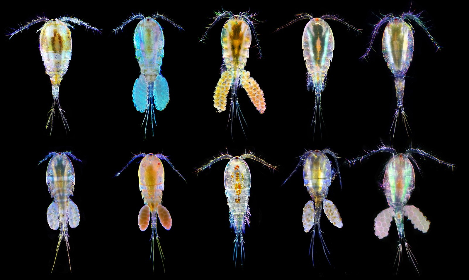 Copepods of different species imaged by a darkfield microscope with polarized light.