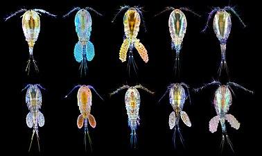 Веслоногие ракообразные разных видов.jpg