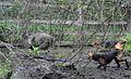 Гончие в болоте 1а.jpg