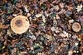Гриб-зонтик великий Macrolepiota procera Гриб-зонтик червоніючий Chlorophyllum rhacodes 02.jpg