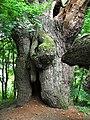 Дуб Тараса Шевченка - 3 у лісі біля ставу.jpg