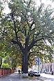 Дуб скельний у Кам'янець-Подільському. Фото 1.jpg