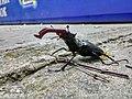 Жук-олень (самец) в бетонных джунглях района Алексеевки возле Лесопарка города Харькова (1).jpg