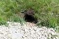 Заказник Великоцький Marmota bobac нора.jpg