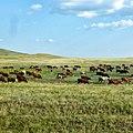 Коровы, Оренбургская область - panoramio.jpg