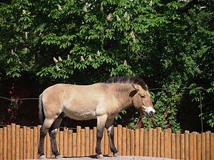 Кінь Пржевальського у київському зоопарку. © Микола Сарапулов, CC-BY-SA 3.0