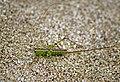 Мечник короткокрылый - Conocephalus dorsalis - Short-winged Conehead - Kurzflüglige Schwertschrecke (21491879443).jpg