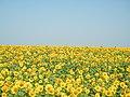 Соняшники - panoramio.jpg