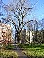 Старый тополь - panoramio.jpg