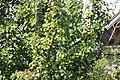Урожайный год на груши. Аэропортовские сады. Чистополь. РТ. Август 201 - panoramio.jpg