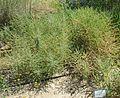 קדד פיינברון Astragalus aleppicus.jpg