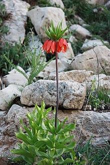 Fritillaria Imperialis in Dena, Iran