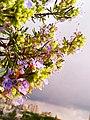 نبتة إكليل الجبل.jpg