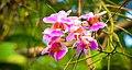 মধুপুর জাতীয় উদ্যানের অর্কিড.jpg