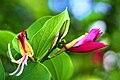 ชงโค Bauhinia purpurea Linn (6).jpg
