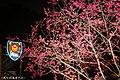 【台中。泰安景點】泰安櫻花季 (33020536091).jpg