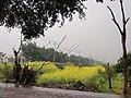 上蔡村的油菜花 - panoramio.jpg