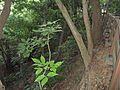 嘉穗公園的台灣魚木20120908.JPG