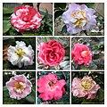 山茶花 Camellia japonica cultivars 2 -香港大埔海濱公園 Taipo Waterfront Park, Hong Kong- (9255246716).jpg