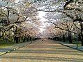 日本大学工学部の桜 正門付近.jpg