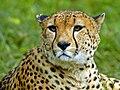 猎豹.jpg