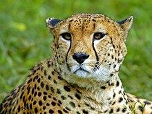 الفهد 220px-猎豹.jpg